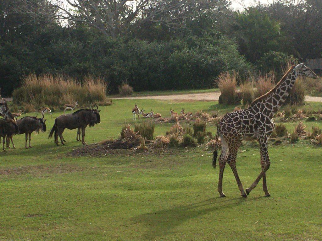 Animals at Animal Kingdom in Disney World